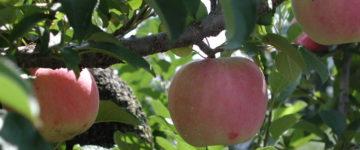 りんご狩り【多田りんご園】